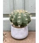 Cactus asiento de suegra