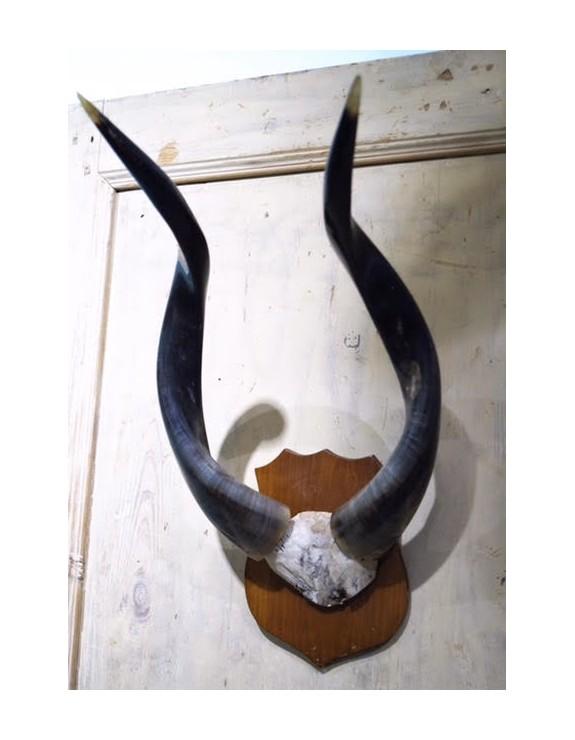 Trofeo de caza antílope